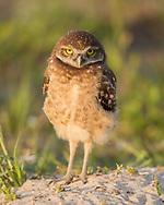 Juvenile burrowing owl stands alertly near its burrow, © 2011 David A. Ponton