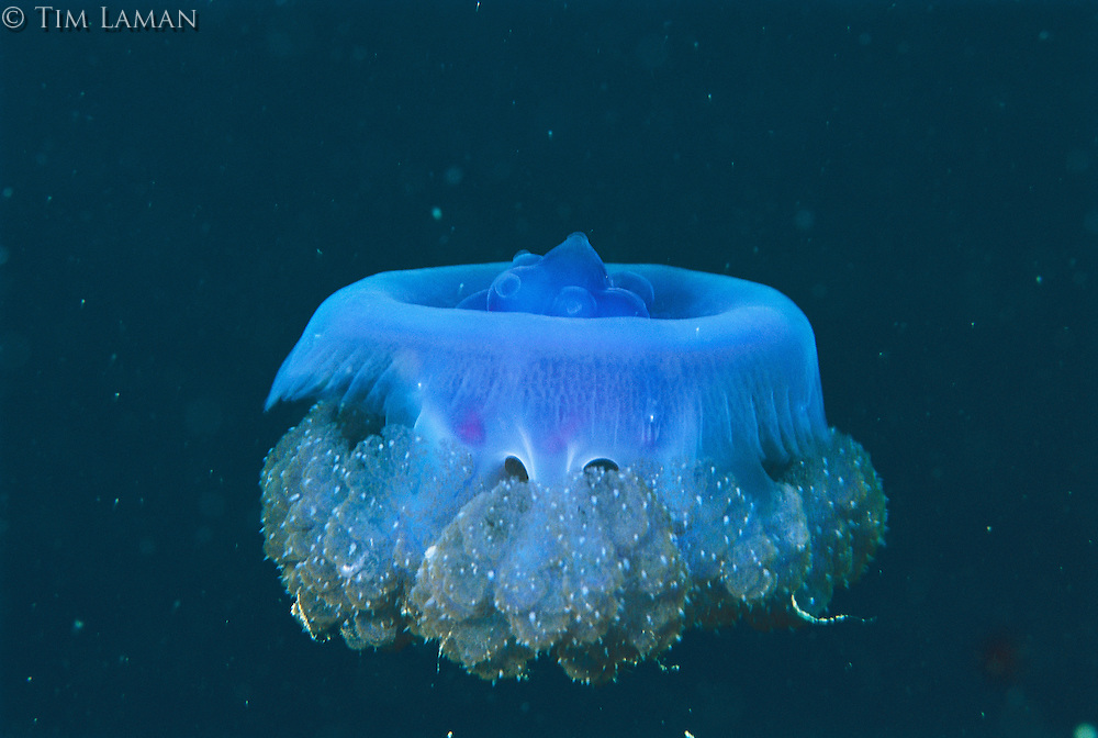 A jellyfish undulates its bell as it swims in blue seas.