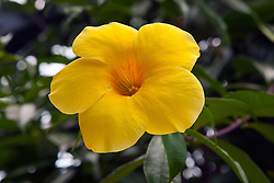 Flower of Golden trumpet vine (Allamanda cathartica), The Huntington Library, Art Collection, and Botanical Gardens San Marino, California, United States of America