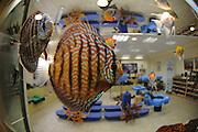Discus fish (Symphysodon) in an indoor aquarium