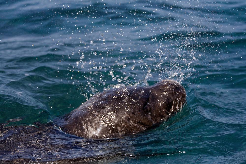 Mission: Monk Seal <br /> Desertas Islands &ndash; Deserta Grande - Madeira, Portugal. August 2009.<br /> Monk Seal (Monachus monachus), male identified by parque Natural da Madeira as &quot;metade&quot;