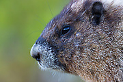 A hoary marmot (Marmota caligata) poses for a close-up photo in Mount Rainier National Park, Washington. Marmots, which hibernate for 8-9 months a year, live near the tree line and feast on wildflowers and grasses during the summer months.