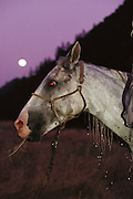 The annual Tevis Cup 100-mile endurance horse race from Squaw Valley to Auburn, California crosses some very rugged terrain. .Hal Hall's winning horse Francisco takes a hay and water break as the full moon rises.near mile 78 in. (1990).