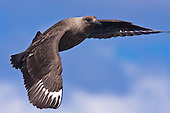 Antarctic Skua Pictures - Photos