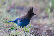 A Steller's Jay stands in short grass looking for a morning meal