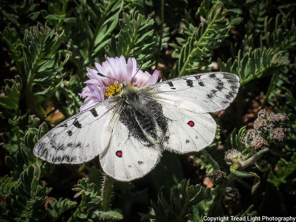 A butterfly/moth makes its home above 12,000 feet near Mt. Sherman.