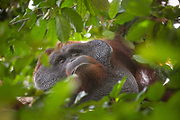 Portait of a wild, dominant male Bornean orangutan (Pongo pygmaeus) through foilage in Tanjung Puting National Park, Indonesia.