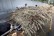 A man lies down on piles of sugarcane as he waits for his product to be weighed at Simbhaoli Sugars factory in in Hapur District in Uttar Pradesh, India on April 2, 2014. The plant, contracted with 50,000 local sugarcane farmers, produces about 9500 tons of sugar per day including bulk sugar,pharmaceutical sugar, candy sugar and raw sugar. Uttar Pradesh is the 2nd largest sugar production state in India following Maharashtra. <br /> (Kuni Takahashi/Bloomberg)