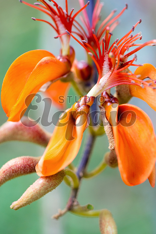 Orange flower of wiliwili (Erythrina sandwicensis).
