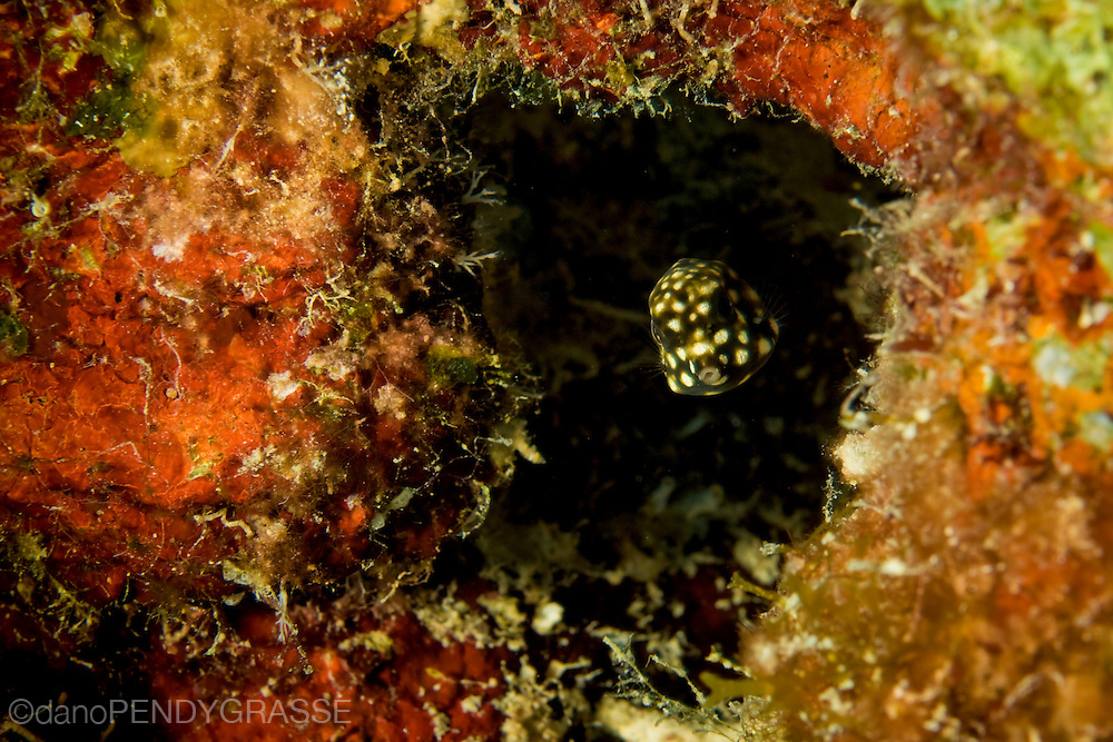 A pea, or a juvenile smooth trunkfish,(Lactophrys triqueter) finds a safe place in the reef to hide out.
