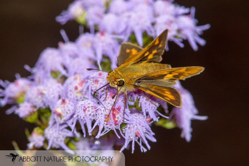Fiery Skipper - Hodges#4013 (Hylephila phyleus)<br /> United States: Alabama: Tuscaloosa Co.<br /> Tulip Tree Springs off Echola Rd.; Elrod<br /> 8-Oct-2017<br /> J.C. Abbott #3001