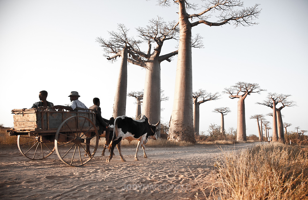 Zebu cart with people idle down Baobab Alley near Morondova, Madagascar
