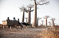 Zebu cart with people idle down Baobab Alley near Morondova, Madagascar