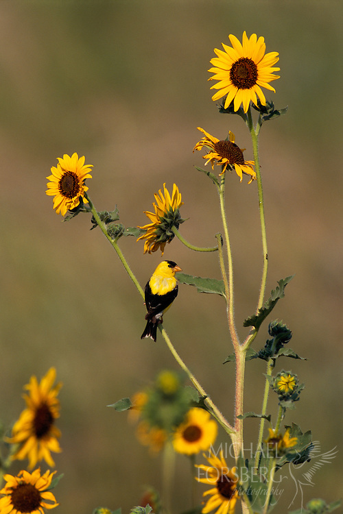 American goldfinch and sunflowers. Wind Cave National Park, South Dakota. The American Goldfinch, also known as the Eastern Goldfinch or Wild Canary, is a small North American bird. It migrates from southern Canada to North Carolina during the breeding season, and from the Canadian border to Mexico during the winter. The male is a vibrant yellow in the summer and an olive color during the winter, while the female is a dull yellow-brown shade which brightens slightly during the summer. The American Goldfinch prefers open country, such as fields and meadows, roadsides, orchards, and gardens. It is often found in residential areas, attracted to bird feeders. It's diet is made up mostly of the seeds of grasses, weeds and other plants, such as thistles and sunflowers. A social bird, the American Goldfinch will gather in large flocks while feeding and migrating.