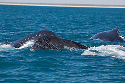 A pair of Humpback whales off Willie Creek north of Broome.  The whale on the left has an unusual pattern of white markings down its side.