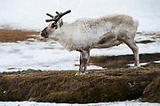 Svalbard reindeer<br /> Rangifer tarandus platyrhyncus<br /> Svalbard<br /> Norway<br /> Arctic Ocean<br /> Endemic subspecies