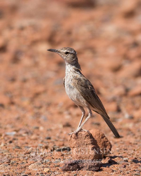 A Damara Longbill perches on a tiny desert rock, Twyfelfontein, Namibia.