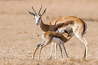 Springbok suckling lamb, Kgalagadi Transfrontier Park, Northern Cape, South Africa