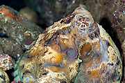 Common Reef Octopus (Octopus cyanea) - Indonesia