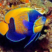 Blue Girdled Angelfish inhabit reefs. Picture taken Lembeh Straits, Sulawesi, Indonesia
