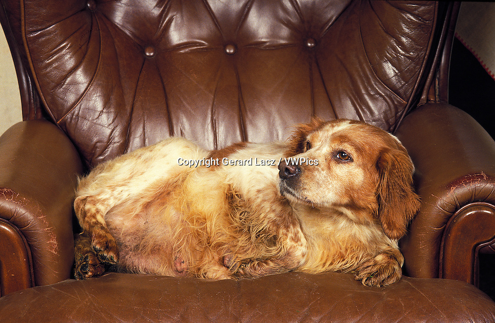 BRITTANY SPANIEL, OBESE FEMALE LAYING IN ARMCHAIR