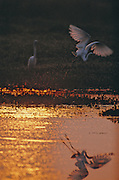 Great Egret departs in the early morning light on the Pearl River Swamp - Mississippi