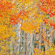 Fall colors. Bishop, CA.