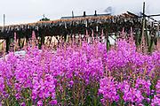 Firweeed blooms pink near cod fish drying on racks at Reine village on Moskenesøya (the Moskenes Island), in the Lofoten archipelago in Nordland county, Norway.