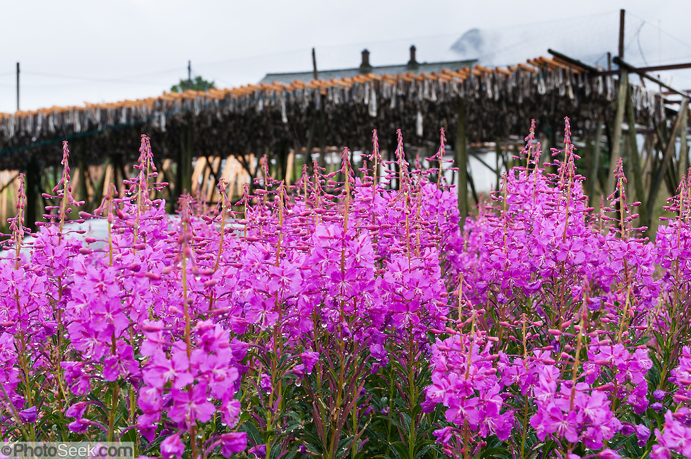 Firweeed blooms pink near cod fish drying on racks at Reine village on Moskenesøya (the Moskenes Island), in the Lofoten archipelago in Nordland county, Norway.