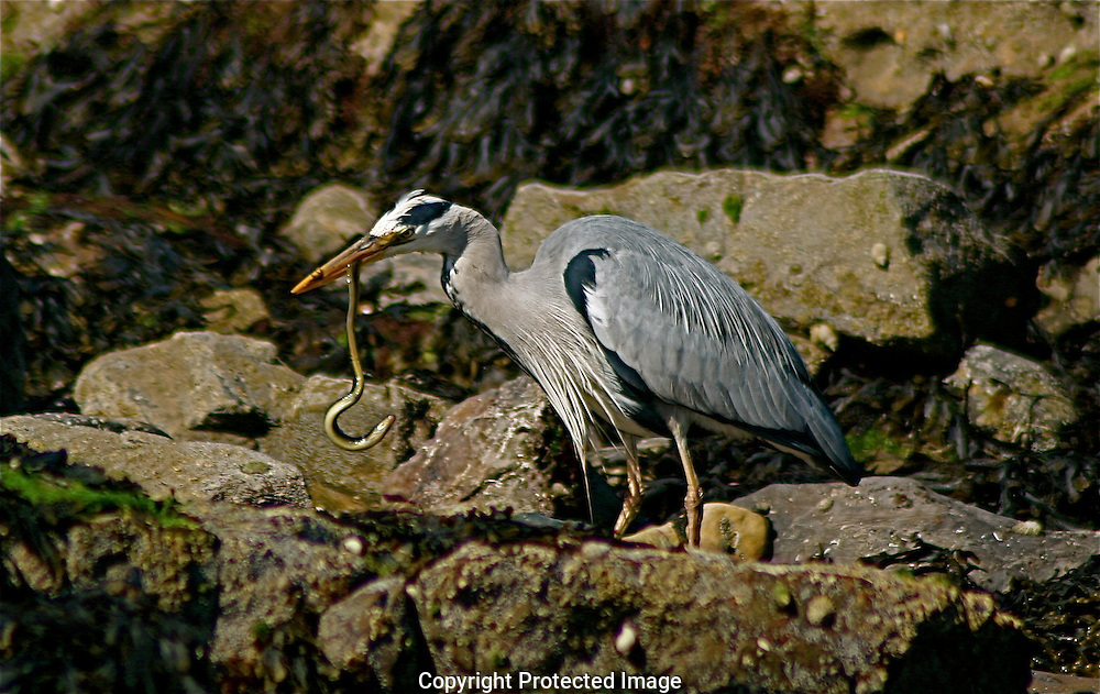 Gray Heron near Malahide, Ireland
