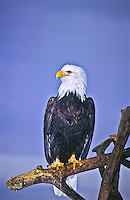 "Bald Eagle (Haliaeetus leucocephalus).  This Bald Eagle shows the nictitating membrane ""third eyelid"" which is drawn from the front to the back rather than vertically.  It is drawn across the eye for protection when attacking prey."