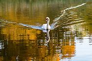 Swan in Pond, Elizabeth A Morton National Wildlife Refuge, Noyack, Sag Harbor, NY