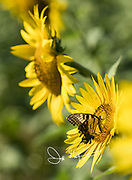 An Eastern Tiger Swallowtail butterfly collects nectar from a sunflower.