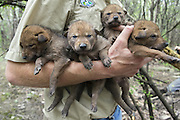 Coyote <br /> Canis latrans<br /> Four-week-old pups held by wildlife researcher from the Cook County Coyote Project<br /> Chicago, Illinois