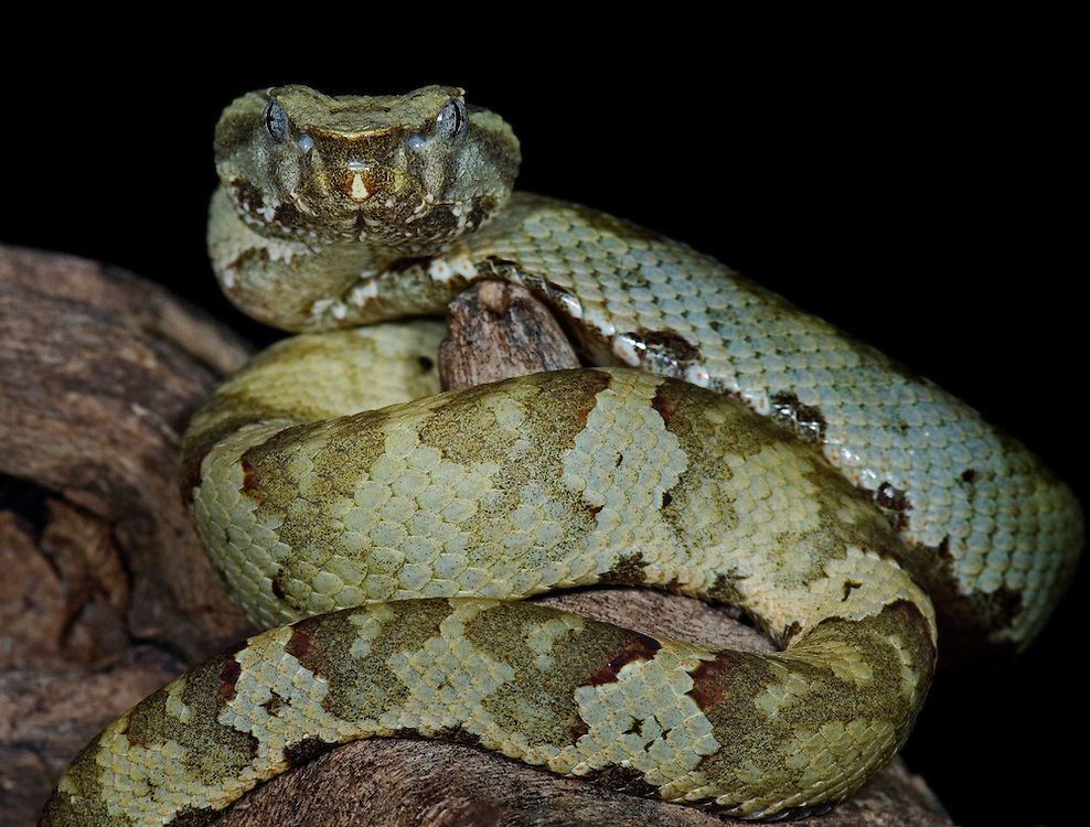 Flat-nosed pit viper