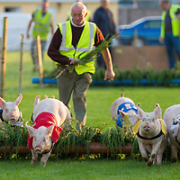 The pigs racing towards the finish line during Kilmihill's Festival of Fun
