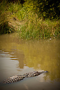 American alligator (Alligator mississipiensis) floats in a swamp in Myrtle Beach, SC.