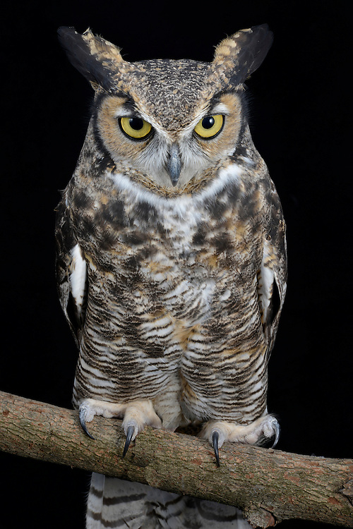 Great Horned Owl (Bubo virginianus), captive