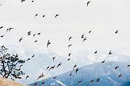 Flight, sparrows, mountains, winter