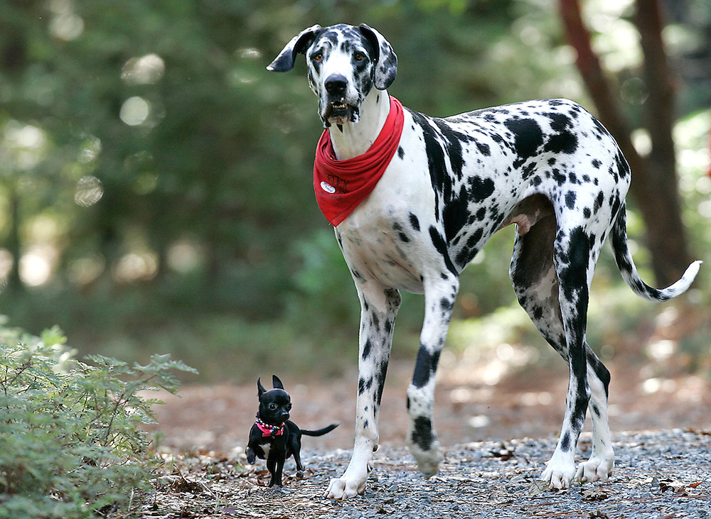 "Guinness World Records names Gibson, a Great Dane, as the world's tallest dog, from floor to shoulder 42.2"".  He stands at 7'2"". Gibson plays with his friend, Zoie a 7.5"" Chihuahua."