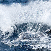 A male humpback whale calf re-entering the water after executing a breach. The calf is facing away from the camera, with his belly up to the air. The substantial displacement of water provides an indication of the calf's mass.