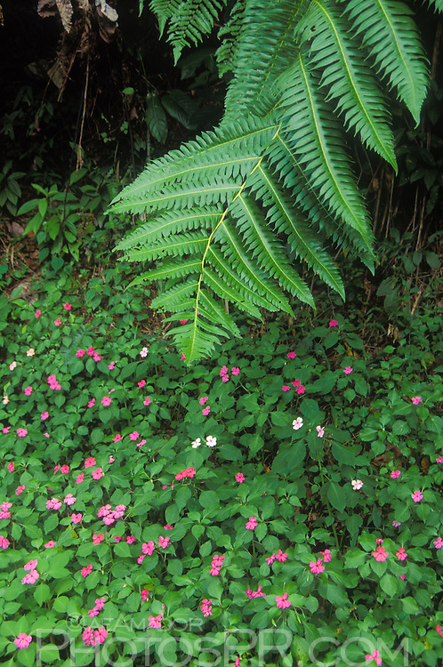 fern leaf and impatiens