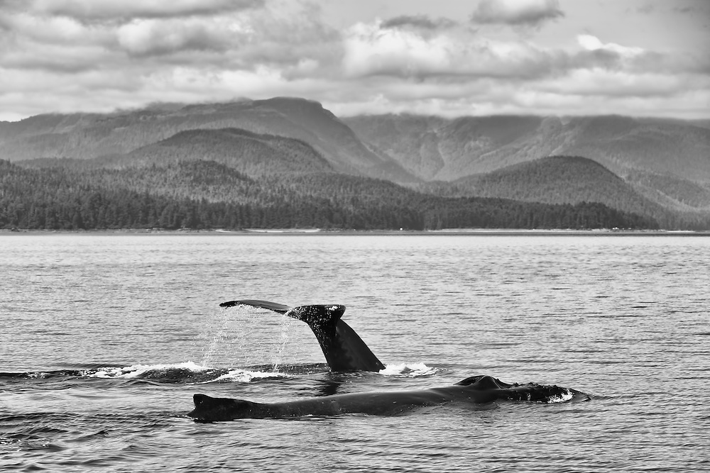 Humpback whales (Megaptera novaeangliae) surfacing from feeding in Seymour Canal fjord with coastal mountains of Tongass National Forest in background in the Inside Passage of Southeast Alaska. Summer. Afternoon.