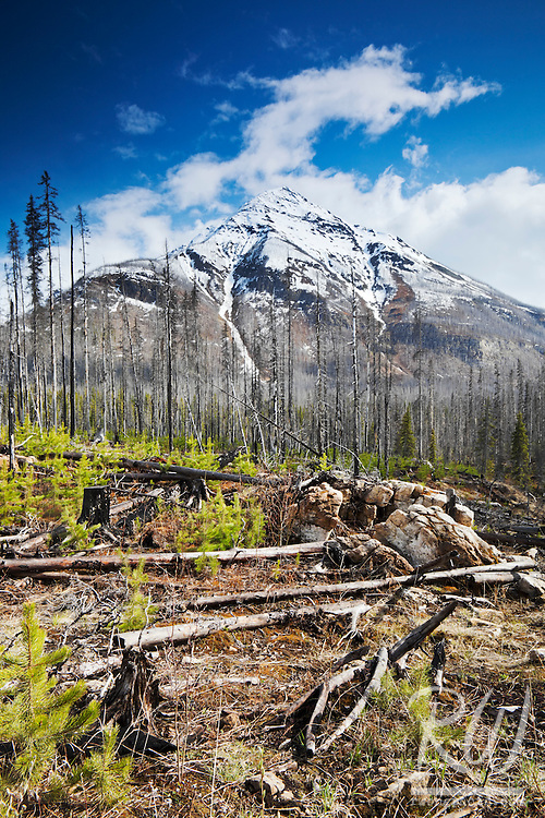 Burned Forest with Vermillion Peak in Background, Kootenay National Park, British Columbia, Canada