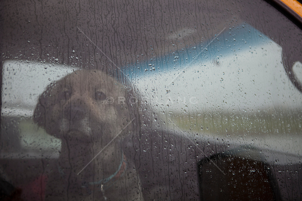 German Shepard puppy sitting in a car as the rain comes down on the window
