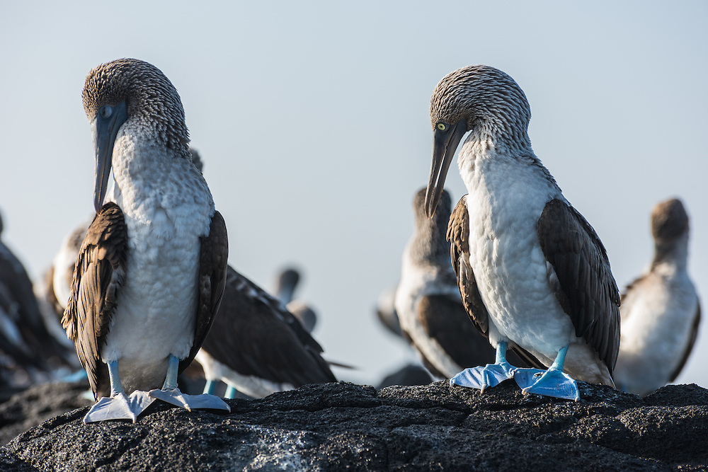 Colony of blue footed boobys on the rocks, Isla Isabela, Galapagos, Ecuador.