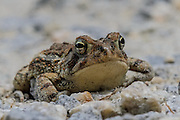 The toad was hopping down the road and I layed on the gravel to photograph it