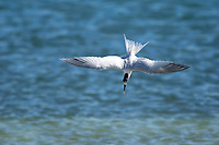 Sandwich Tern Thalasseus sandvicensis from Causeway between Fort Myers and Sanibel Island Florida USA