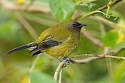 Bellbird, Tiritiri Matangi, New Zealand