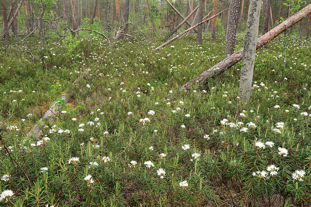 Bog forest, ledum palustre, Latvia